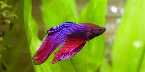 indonesian betta fish