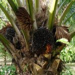 indonesian palm oil