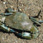 indonesia-mud-crab-supplier